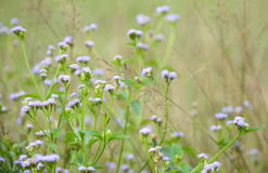 Siam weed. Flower in field with tree background Stock Images