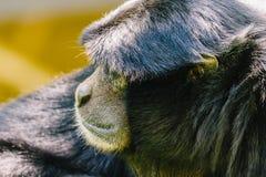 Siamang μαύρος-μαλλιαρό Gibbon Στοκ Φωτογραφίες