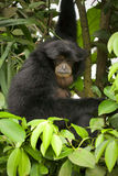 Siamang Royalty Free Stock Image