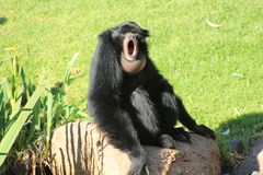 Siamang Fotos de Stock Royalty Free