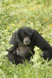 Small black ape Stock Photos