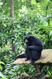Siamang Photographie stock