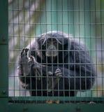 Siamang-Affe in einer Zelle Lizenzfreies Stockfoto