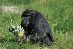 Siamang gibbon looking at a pineapple. The siamang is an arboreal black-furred gibbon native to the forests of Indonesia, Malaysia and Thailand. The largest of royalty free stock photos