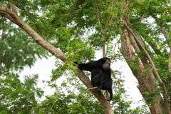 Siamang auf Baum Lizenzfreie Stockfotografie
