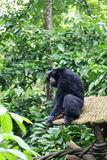 Siamang. Black colored Siamang, also known as lesser ape, a special species which only exists in South East Asia Stock Images