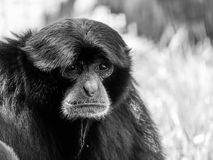 Siamang Black-Furred Gibbon. Portrait Stock Images