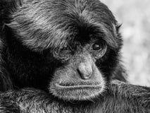 Siamang Black-Furred Gibbon. Portrait Stock Photos