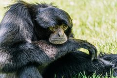 Siamang Black-Furred Gibbon. Portrait Royalty Free Stock Image