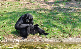 Siamang, black furred gibbon Royalty Free Stock Image