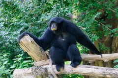 Siamang, black furred gibbon. Thailand Royalty Free Stock Photos