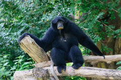 Siamang, black furred gibbon. Thailand Royalty Free Stock Photography