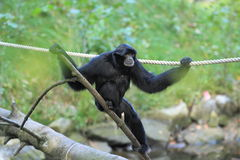 Siamang Royalty Free Stock Photos
