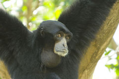 Siamang Royalty Free Stock Images
