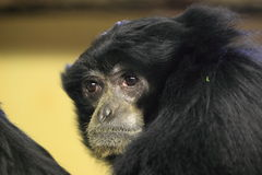 Siamang Stock Photography