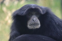 Siamang detail Stock Photography