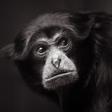 Siamang Stock Images