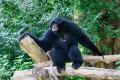 Siamang, gibão peludo do preto Fotos de Stock Royalty Free