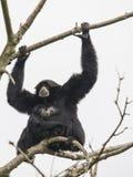 Siamang gibbon, μητέρα και cub Στοκ εικόνα με δικαίωμα ελεύθερης χρήσης