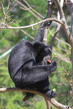 Siamang gibbon 2 Stock Photo