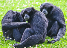 Siamang gibbon. S going through the morning routine at Dublin zoo Stock Photo