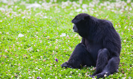 Siamang gibbon. Sitting on grass at Dublin zoo Stock Photography