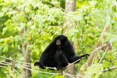 Siamang Gibbon Stockfotos