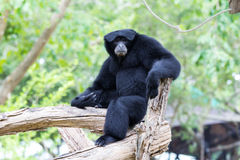 Siamang Gibbon Royalty Free Stock Photos