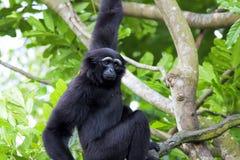 Siamang Gibbon Στοκ εικόνα με δικαίωμα ελεύθερης χρήσης