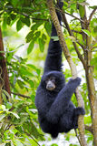 Siamang Gibbon. Hanging in the trees in Malaysia Royalty Free Stock Image