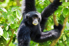 Siamang Gibbon Στοκ Εικόνες