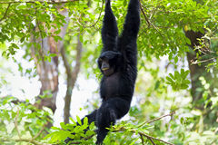 Siamang Gibbon Royalty Free Stock Images