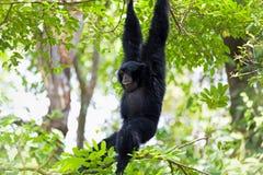 Free Siamang Gibbon Royalty Free Stock Images - 38272669