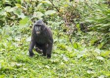 Siamang Gibbon Στοκ φωτογραφίες με δικαίωμα ελεύθερης χρήσης