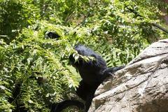 Siamang Gibbon Στοκ φωτογραφία με δικαίωμα ελεύθερης χρήσης