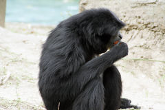 Siamang Gibbon Stockfotos