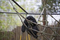 Siamang Gibbon Stockbild