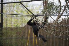 Siamang Gibbon Stockbilder