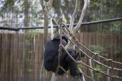 Siamang Gibbon Lizenzfreie Stockbilder