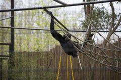 Siamang Gibbon Lizenzfreies Stockfoto