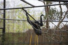 Siamang Gibbon Lizenzfreie Stockfotografie