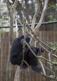Siamang Gibbon Stockfotografie
