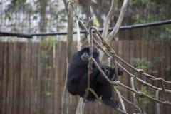 Siamang Gibbon Lizenzfreies Stockbild