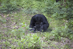 Siamang Gibbon Lizenzfreie Stockfotos
