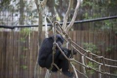 Siamang Gibbon Στοκ Φωτογραφίες
