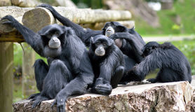Siamang Gibbon family relaxing Stock Images