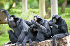 Siamang Gibbon family relaxing on tree stump Royalty Free Stock Photography
