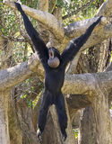 Siamang Gibbon Hanging Out Royalty Free Stock Photo