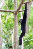 Siamang Gibbon hanging in the tree Royalty Free Stock Images