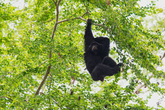 Siamang Gibbon hanging Royalty Free Stock Photography